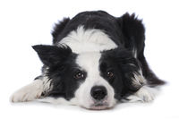 Young border collie dog lying on white background