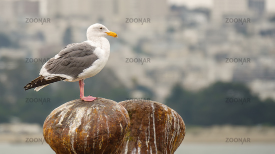 typical seagull in urban surroundings