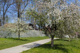 Bluehende Baeume am Stadtwall, Soest, Westfalen, Nordrhein-Westfalen, Deutschland, Europa