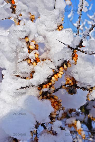 Sanddorn, Hippophae rhamnoides,  Fasanenbeere, Haffdorn, Seedorn im Winter mit Schnee bedeckt