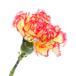 Pink and Yellow Carnation