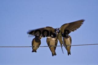 Jungschwalben werden im Flug gefüttert
