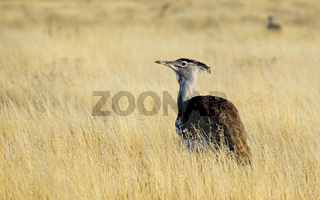 Riesentrappe, Ardeotis kori, Kori bustard, Central Kalahari Game Reserve, CKGR,  Botswana, Botsuana