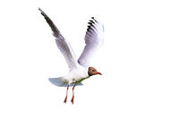 Black-headed gull in flight isolated on white background
