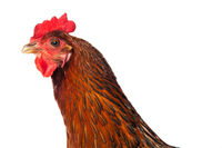 Hen isolated on white background