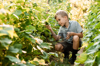 The little boy carefully collects cucumbers in the garden bed