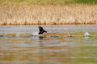 Bird Eurasian coot Fulica atra on pond