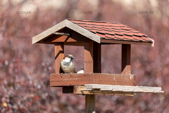 house sparrow, Passer domesticus, in simple bird feeder