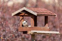 house sparrow, Passer domesticus, in simple bird feeder