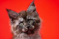 Head of lovely baby Coon Cat with furry fur of color black smoke. Portrait on red background