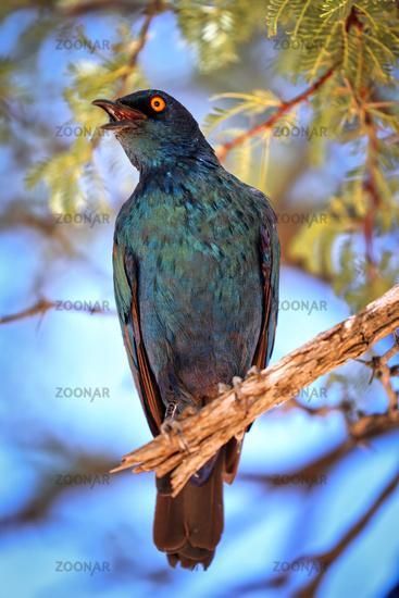 Glanzstar, Kgalagadi-Transfrontier-Nationalpark, Südafrika, (Lamprotornis nitens)    Cape Glossy Starling, Kgalagadi Transfrontier National Park, South Africa, (Lamprotornis nitens)