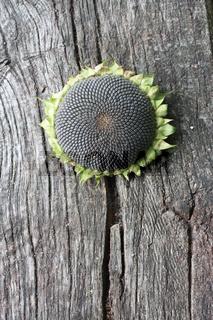 Sonnenblume mit reifen Kernen
