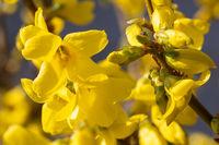 Forsythia, Forsythia intermedia