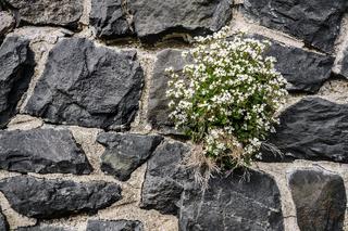 Mauerbluemchen - Moosphlox weiss