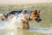 Young happy German Shepherd, jumps into the water with big splash. The dog splashes and happily jumps into the lake