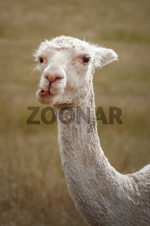 sweet white alpaca animal