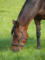 Grasendes Pferd
