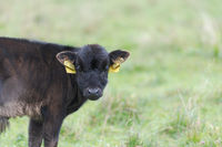 Longhorn cattle calf on range land looking at camera