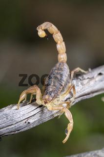 buthus scorpion (scorpio occitanus)