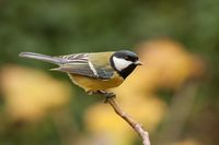 Great tit, parus major, with autumnal background