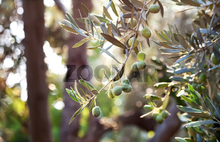 Mediterranean Gold; Olives On It's Treeee Branch