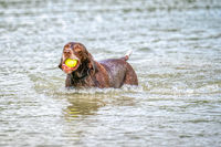 Detailed German Short haired Pointer. The dog swims in the blue lake with a yellow tennis ball in its mouth. During a summer day