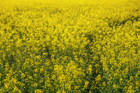 Bright yellow rapeseed Brassica napus flowers growing on field.