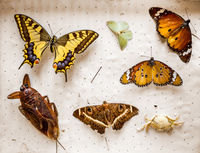 Dried butterflies and insects collection