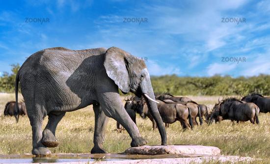 Elefant am künstlichen Wasserloch, Etosha-Nationalpark, Namibia, (Loxodonta africana) | elephant at an artificial waterhole, Etosha National Park, Namibia, (Loxodonta africana)