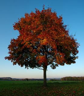 Ahornbaum im Herbstkleid