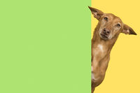 Portrait of a cute podenco andaluz on a yellow background looking around the corner of a green empty board with space for copy