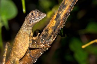 Brown-patched Kangaroo Lizard, Sinharaja National Park Rain Forest, Sri Lanka