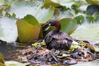 little grebe at the nest (Tachybaptus ruficollis)