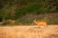 Undisturbed roe deer grazing through dry stubble in summer