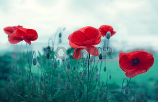 Poppy flowers isolated on gray background