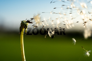 clouseup image of a dandelion flower with its seeds carried away by the wind