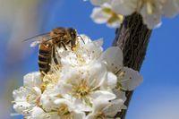 Biene bestäubt Blüten