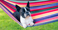 young sweet boston terrier relaxing on a hammock