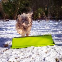 Tibetan terrier dog running in the snow