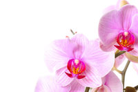 Photo beautiful orchid on white background