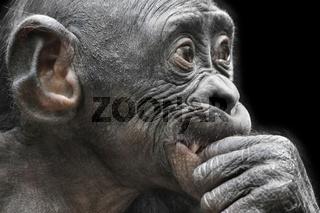 Bonobo PANGI