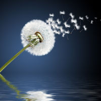 Dandelion flower with flying feathers on blue sky.