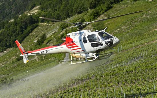 Helikopter der Air-Glaciers SA sprayt Pflanzenschutzmittel auf Rebflächen,Leytron, Wallis, Schweiz