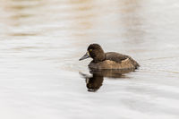 Tufted Duck - Aythya fuligula - female bird swimming in a lake