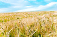 Barley or Rye Grain and sky. Close-up of cereal plants agriculture field