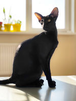 Black oriental cat with window