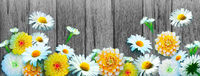 Scenery background of the natural blooming chamomile flower.