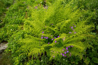 Green fern leaves growing and violet wildflowers blooming in a summertime forest