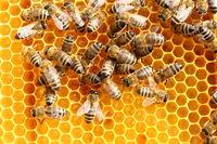 Bienen arbeiten an der Honigwabe