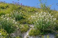White Valerian (Centranthus ruber alba) growing on cliffs at Eastbourne